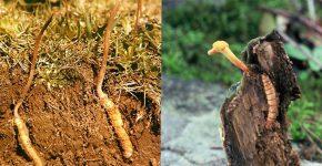 Đông trùng hạ thảo mang nhiều tác dụng tốt với sức khỏe
